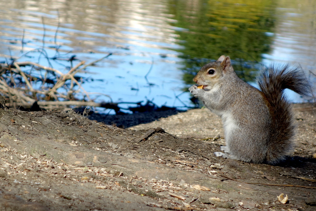 St Jame's Londres écureuil